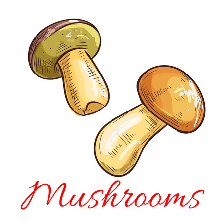 isolated ingredient: Mushrooms sketch. Vector edible mushroom penny bun, cep, porcino or porcini. Vegetarian or vegan protein ingredient for food nutrition and cooking. Botanical Boletus edulis forest plant isolated object with stem and cap