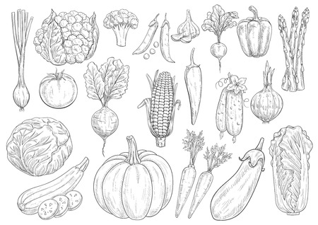 napa: Vegetables sketch cauliflower, tomato and broccoli, onion leek and garlic, bell and chili pepper. Farm harvest vector isolated icons of beet, radish and corn, asparagus, cucumber and chinese cabbage, zucchini squash, pumpkin, carrot and eggplant Illustration
