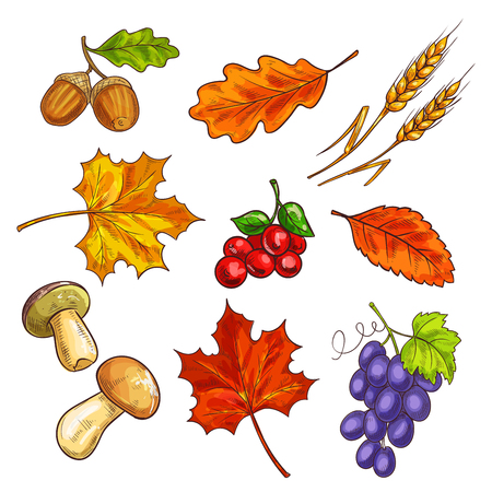 autumn garden: Autumn fallen leaves and mushroom, berries. Grapes and shroom, ear and acorn, elm or ulmus, chestnut and oak leaf. Garden or botany, autumnal harvest and flora, park theme