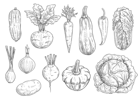 vegetable marrow: Veggies and vegetables icons. Vector isolated sketch zucchini squash, kohlrabi, carrot and chili pepper, chinese cabbage napa, onion leek and beet with potato. Vegetarian and vegan greens fresh food ripe harvest Illustration