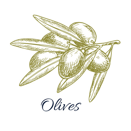 isolated ingredient: Olive bunch sketch icon of green olive plant tree branch. Vector isolated design for olive oil label, salad ingredient and seasoning of healthy vegetarian and vegan vegetable food menu. Italian, Mediterranean, Greek or Spanish cuisine cooking symbol Illustration