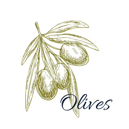 isolated ingredient: Olives sketch icon. Vector isolated green olive plant tree branch. Design for for olive oil label, healthy vegetarian and vegan vegetable food menu. Symbol of Italian, Mediterranean, Greek or Spanish cuisine cooking and salad ingredient and seasoning