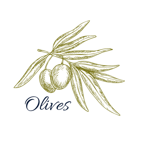 isolated ingredient: Sketch of olive tree branch with green olives bunch. Vector isolated icon or symbol for olive oil bottle label, vegetarian vegetable food salad ingredient and seasoning pack design for Italian, Mediterranean, Greek or Spanish cuisine