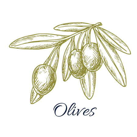 vegetarian cuisine: Sketch of green olives. Vector isolated icon of olive branch with green olive fruits. Design or symbol for olive oil label, vegetarian vegetable food salad ingredient and seasoning. Olive tree symbol for Italian, Mediterranean, Greek or Spanish cuisine