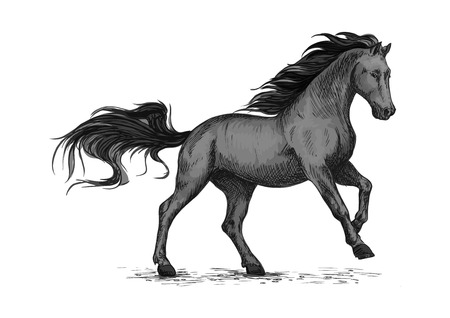 foal: Black mustang stallion racing or galloping.