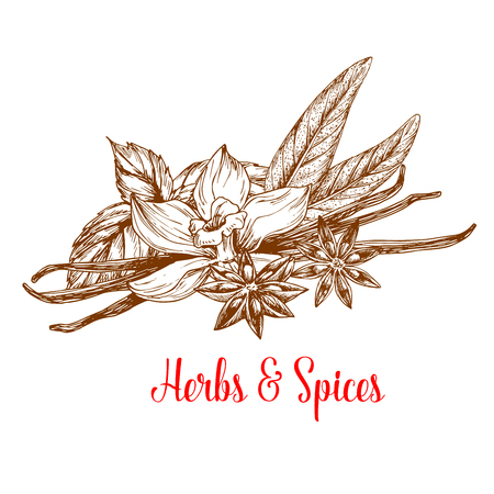 food ingredient: Herbs and spices sketch poster. Mint and tarragon plant fresh leaves with flower and pod of vanilla and anise star with seed. Condiment, seasoning, cooking ingredient, food themes design Illustration