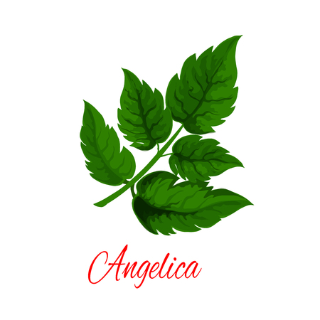 Angelica plant branch with fresh green leaves. Garden angelica or wild celery twig for herbal medicines, natural spice, essential oil and vegetarian food themes design