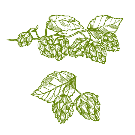 Hops plant isolated sketch. Green branches of hop with flower cone and leaves. Beer and herbal tea drinks label or food packaging design Illustration