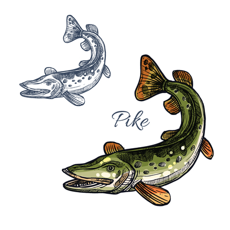 fresh seafood: Pike sketch vector fish icon. Fresh water lake fish species of blue walleye or characin. Isolated symbol for seafood restaurant sign or emblem, fishing nature club or fishery industry