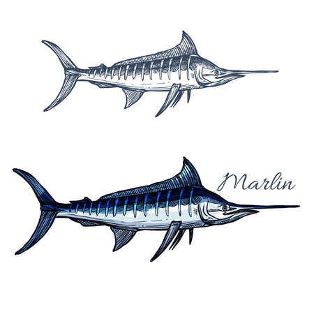 billfish: Marlin sketch vector fish. Ocean or sea fish species of blue sailfish or billfish. Isolated symbol for seafood restaurant sign or emblem, fishing sport club or fishery industry, fish market or shop Illustration