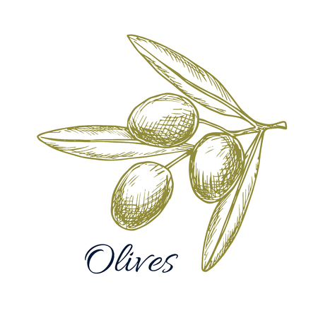 isolated ingredient: Green olives bunch sketch icon of olive-tree plant branch. Vector isolated design for olive oil label, salad dressing ingredient and seasoning of healthy vegetarian and vegan vegetable food menu