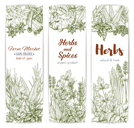 tarragon: Herbs and seasonings sketch banners set of spice condiments anise and oregano, basil, dill and parsley, ginger and chili pepper, rosemary and thyme, sage bay leaf, vanilla or mint and cinnamon