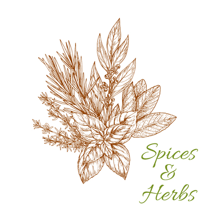 Condiments herbs and herb spices sketch of tarragon or rosemary, basil or thyme, savory, mint and bay leaf. Bunch of spicy culinary aroma flavoring plants for grocery store or farmer market Illustration