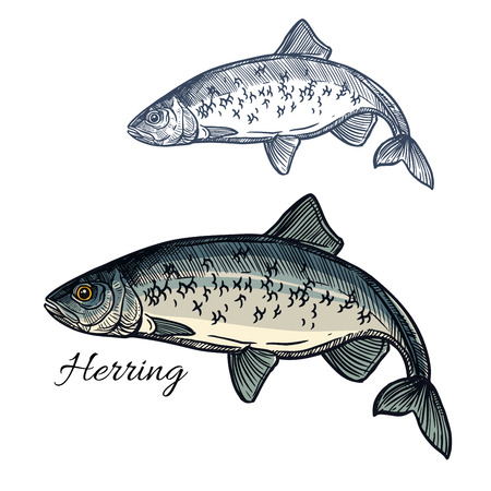 Herring sketch fish icon. Isolated marine atlantic ocean sardine or sea sprat fish species. Isolated symbol for seafood restaurant sign or emblem, fishing club or fishery market Illustration