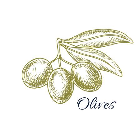 food ingredient: Olives sketch of olive-tree branch with green olive fruit for olive oil product or bottle label, salad dressing ingredient and seasoning of healthy vegetarian and vegan vegetable food menu Illustration