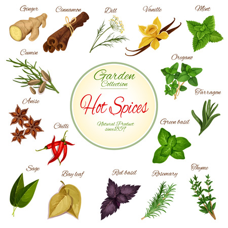 Hot spice and condiment poster with chilli pepper, ginger, cinnamon, basil, anise star, mint, rosemary, vanilla, cumin, thyme, oregano, dill, bay leaf, sage, tarragon. Herbs for spice shop design 矢量图像