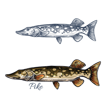 pike: Pike fish isolated sketch. Northern pickerel, freshwater predator with long head and light spots on flanks. Fishing sport, fish market, food theme design