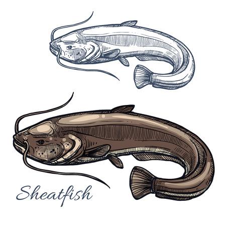 fishery: Sheatfish sketch. Illustration