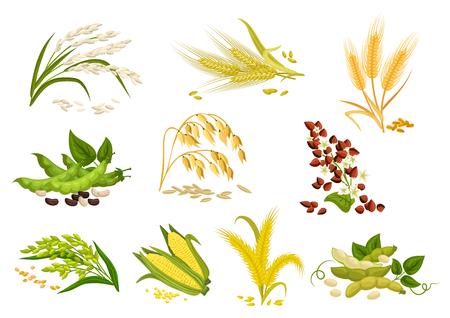 곡물 식물의 곡물 아이콘. 벡터 밀, 호밀 귀, 메밀 씨앗, 귀리 또는 보리 수수와 쌀 뭉치. 격리 된 농업 옥수수 속과 콩과 콩 또는 녹색 완두콩 포드 농장