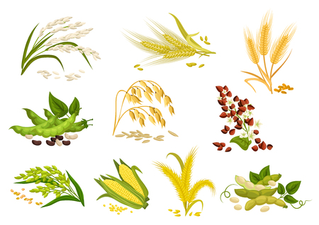 Cereals icons of grain plants. Vector wheat and rye ears, buckwheat seeds and oat or barley millet and rice sheaf. Isolated agriculture corn cob and legume beans or green pea pods farm crop harvest
