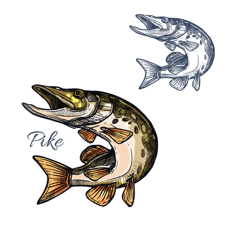Pike sketch. Vector freshwater lake fish species of blue walleye or characin. Isolated symbol for fishing nature club or fishery industry, fish market or shop and seafood restaurant sign or emblem