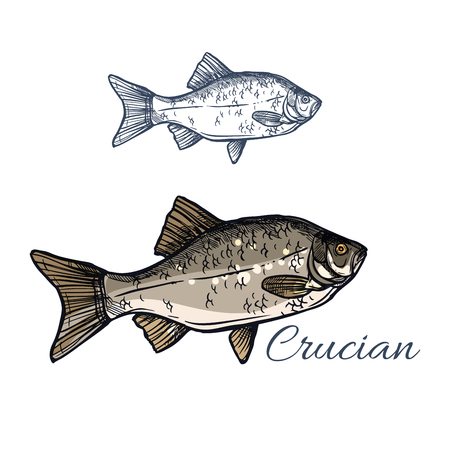 ide: Crucian sketch vector fish icon. Isolated lake or river crucian carp fish species of carassius or goldfish. Isolated symbol for seafood restaurant sign or emblem, fishing club or fishery market