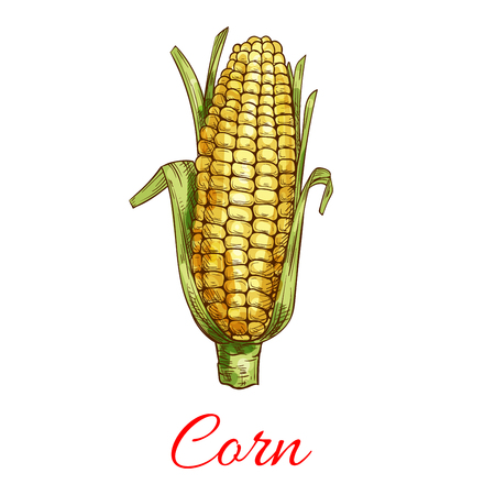 Corn vegetable vector sketch with leaves. Vegetarian and vegan cuisine vegetable and agriculture ripe harvest. Sweet corn maize object for grocery store, farmer market, packaging design Çizim