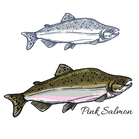 Salmon fish sketch for seafood and fishing design Illustration