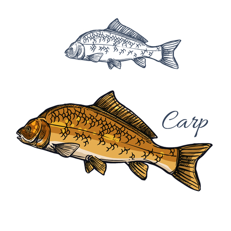 fishery: Carp fish isolated sketch for food themes design