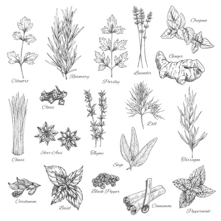 leek: Spices and herbs vector sketch icons. Illustration