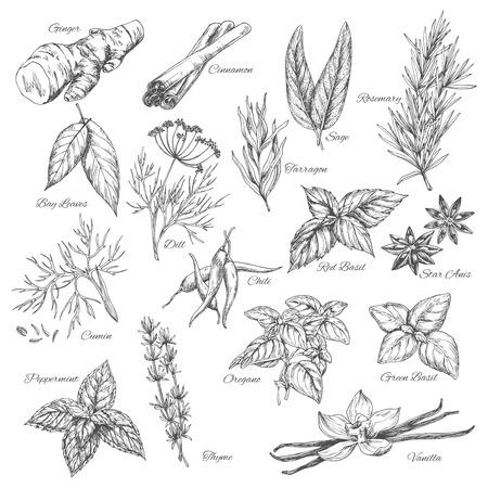 벡터 스케치 향신료와 허브 식물 flavorings