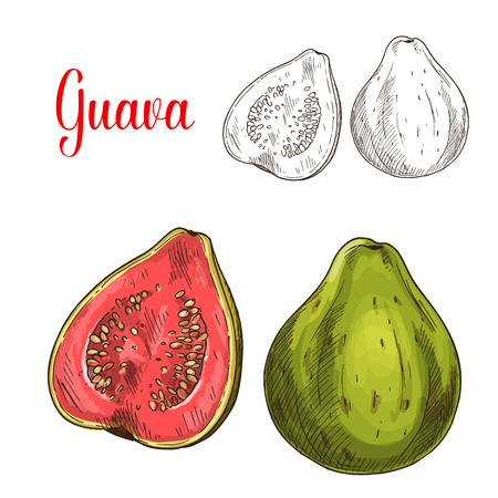 Guava fruit isolated sketch for food design Illustration