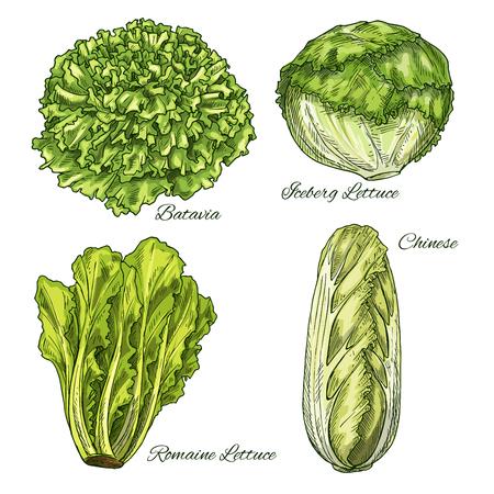 Repollo y lechuga vegetal isoletad croquis Ilustración de vector