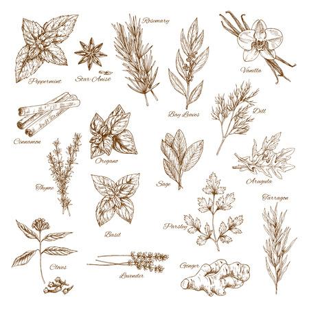 허브, 향신료 및 잎 야채 스케치 포스터 일러스트