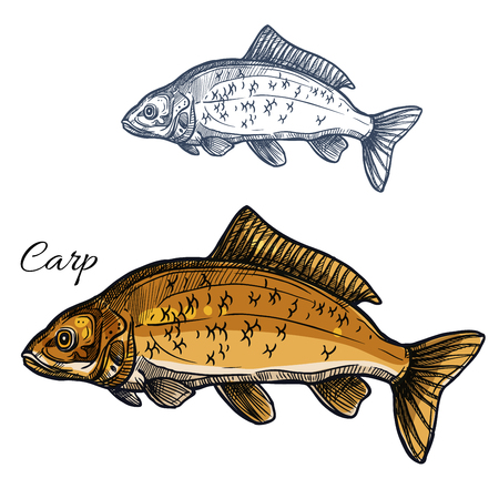 fishery: Carp fish vector isolated sketch icon