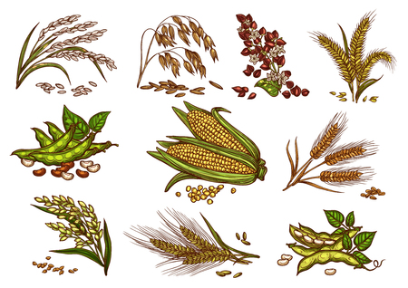 Grain and cereals vector isolated icons Çizim