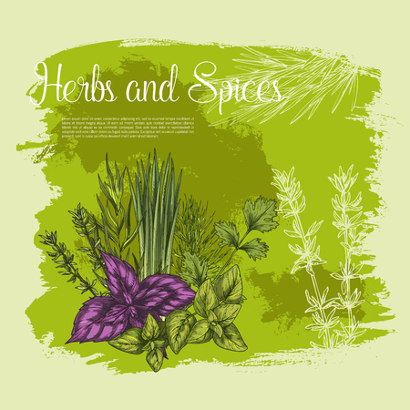 Herbs and spices vector poster sketch of basil or oregano leaf salad condiment, onion leek and spicy rosemary dressing, aroma peppermint or lavender grass and tarragon for gourmet culinary design