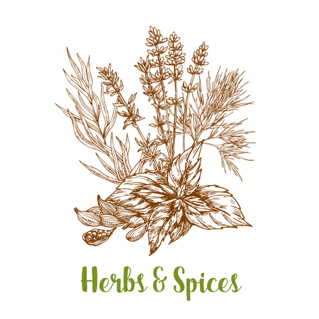 Herbs and aromatic spices sketch of basil or thyme, tarragon or rosemary and cardamom or cardamon seeds, savory and mint leaves. Herbal spicy culinary condiments or aroma flavoring plants for grocery store, farmer market or product pack design