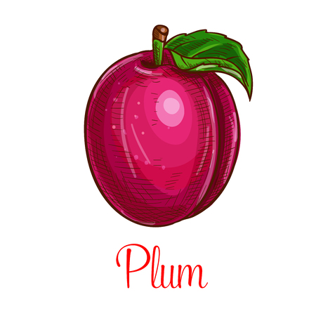 Plum vector fruit sketch isolated icon