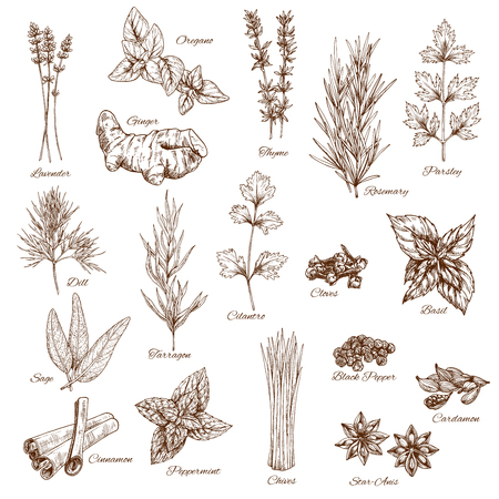 Schets kruiden en kruiden vector aroma's