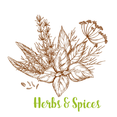 Fresh herbs and spices sketch. Basil, rosemary, thyme, dill, bay leaf, cumin, and sage isolated bunch of culinary herbs for greengrocery and spice shop label, food packaging design Çizim