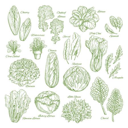 サラダの葉と野菜の緑スケッチ セット デザイン