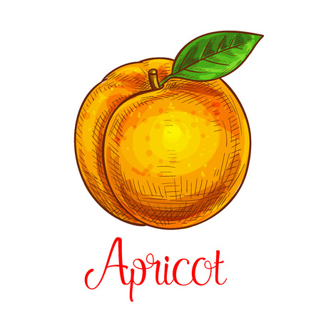 dietary: Apricot vector sketch isolated fruit icon Illustration