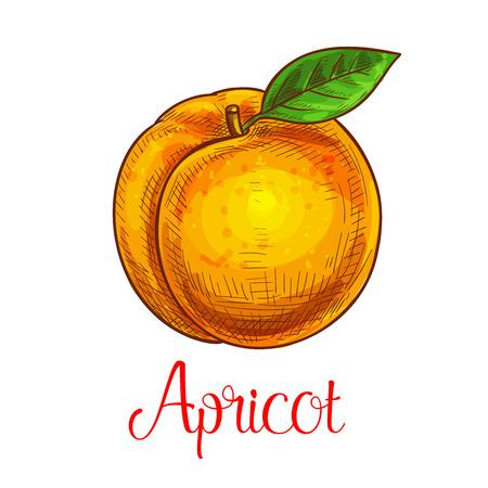 Apricot vector sketch isolated fruit icon Ilustração