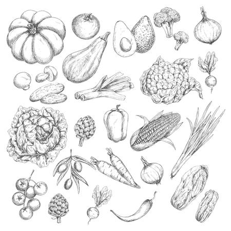 벡터 스케치 격리 야채 또는 채소 아이콘 일러스트