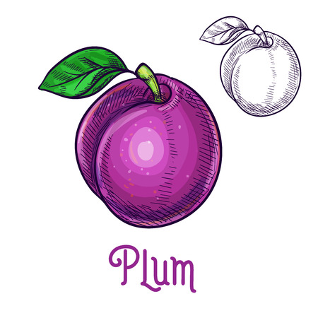 Plum fruit sketch. Vector isolated icon of fresh prune species with leaf. Sweet juicy whole plum fruit symbol for jam and juice product label or grocery store, shop and farm market design Ilustração