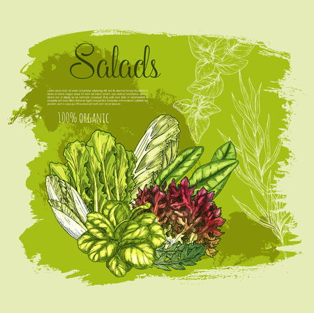 Vector poster salads or leafy lettuce vegetables Illustration