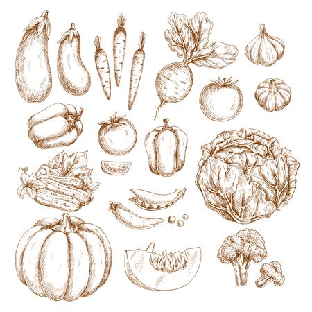 Groenten vectorschetsen. Pompoen of aubergine en biologische oogst van wortel, radijs of biet en tomaat, vegetarische knoflook, peper of kool en groene erwt of boon, komkommer, bloemkool of broccoli Stock Illustratie