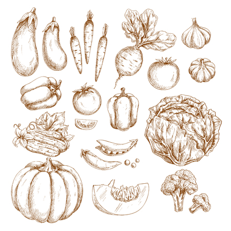 Vegetables vector sketches. Pumpkin or eggplant and organic harvest of carrot, radish or beet and tomato, vegetarian garlic, pepper or cabbage and green pea or bean, cucumber, cauliflower or broccoli