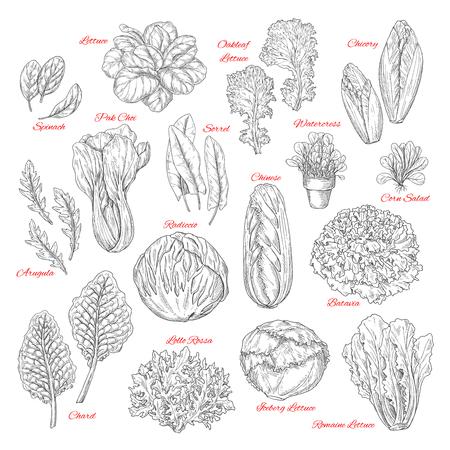 サラダ、葉菜はベクトルのスケッチです。ほうれん草、スイバとクレソン、中国または氷山キャベツと lollo ロッサ radiccio とファーム新鮮なトウモロ